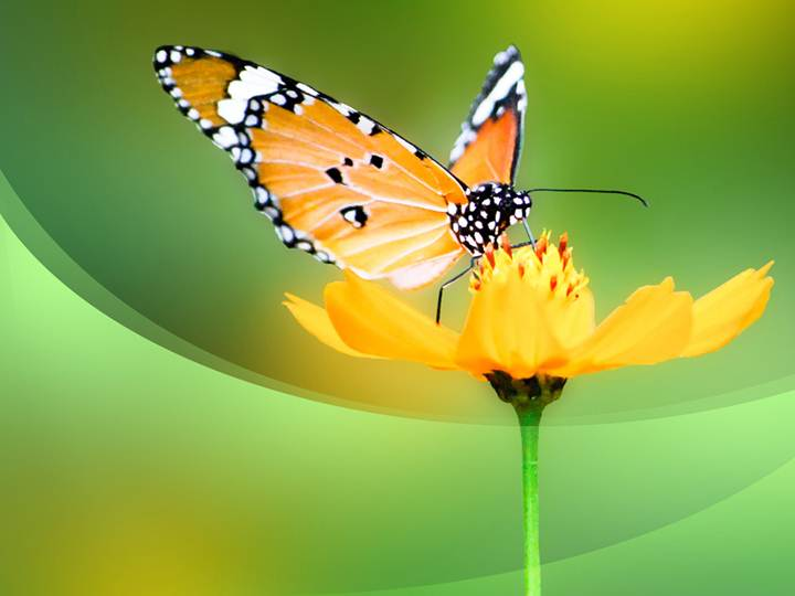 free butterfly ppt template